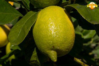 Picture of 2kg Sicilian Lemons